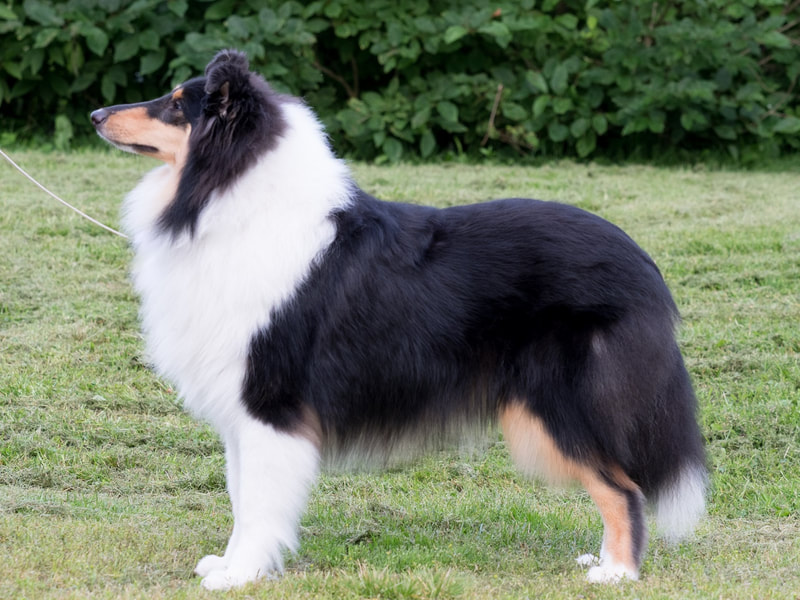 Pitkäkarvainen collie, Crofter's Only Sweetheart