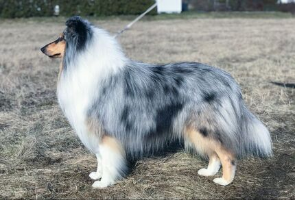 Pitkäkarvainen collie, Crofter's Only Wishmaster